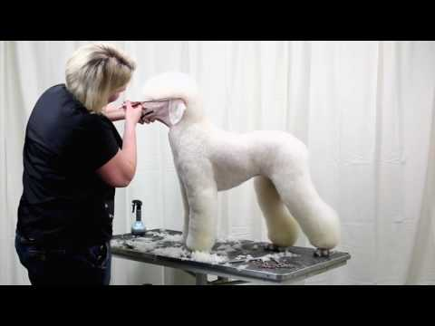 Standard Poodle Trim - Groomers Gallery Preview