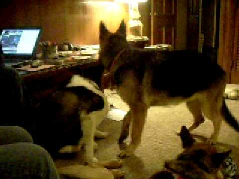 German Shepherd furry 2 from YouTube · Duration:  3 minutes 37 seconds