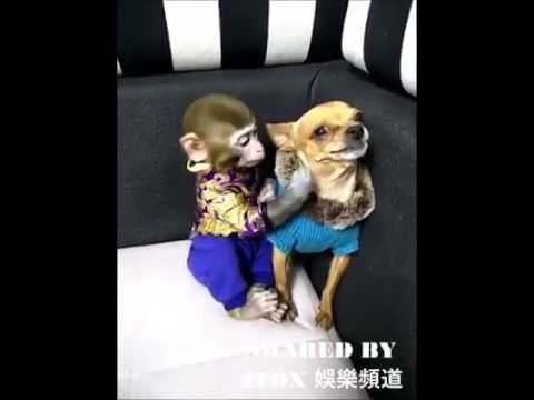 Angry Chihuahua Gets Errited By Monkey Kissing Youtube