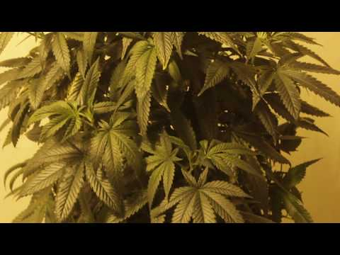 Fix Calcium Magnesium Deficiency On Cannabis