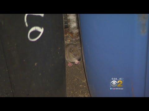 More Crews, Garbage Bins To Help Tackle Chicago's Rat Problem