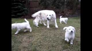 English Type Golden Retriever Puppies - Basil And Sherry's Puppies - Illinois