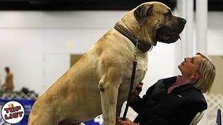 Hampir Lebih Besar Daripada Pemiliknya!, 5 Jenis Anjing Paling Besar Di Dunia