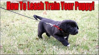 Leash Train A Puppy ♥ How To Leash Train A Puppy ♥ Spca Endorsed Method! ☼ ☼ ☼