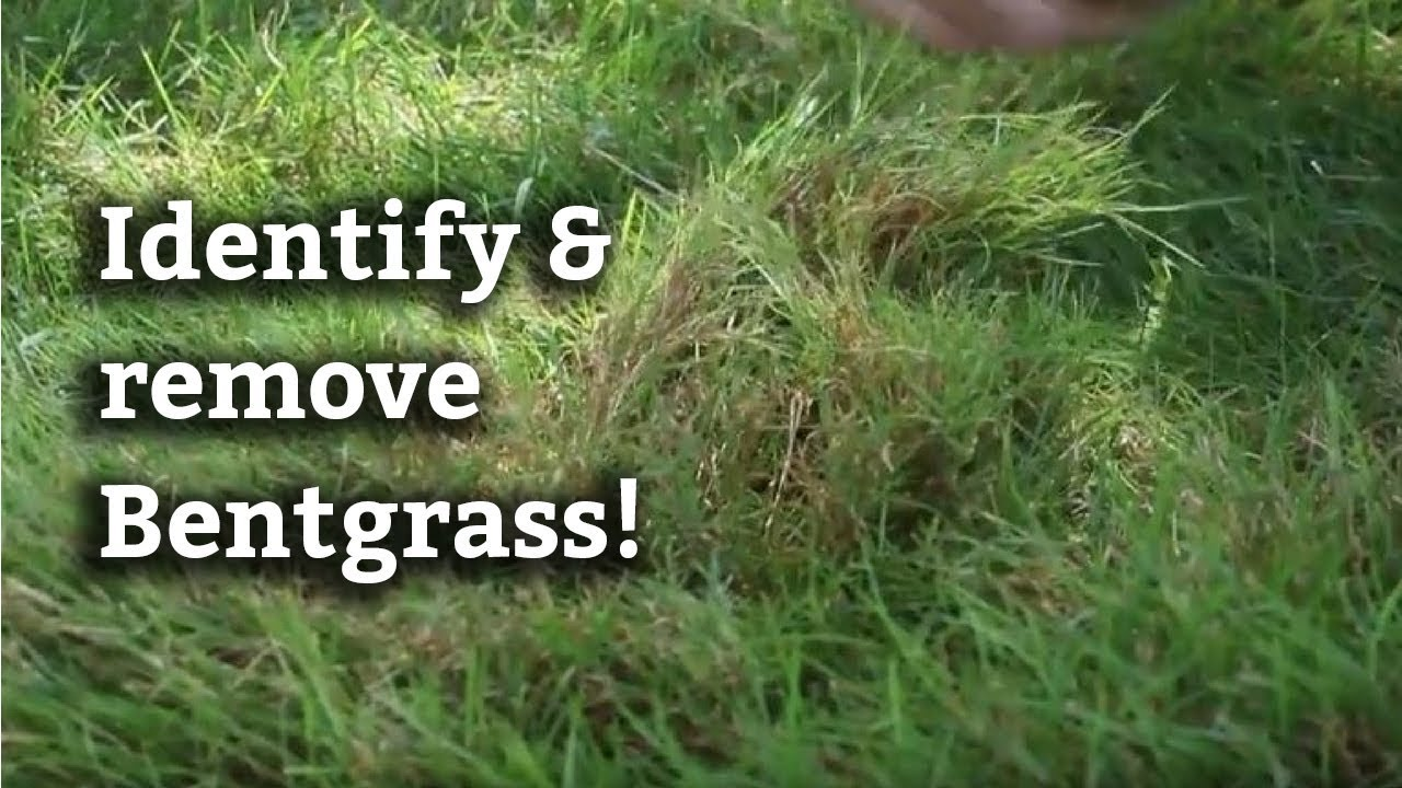 Dealing With Bentgr Expert Lawn Care Advice
