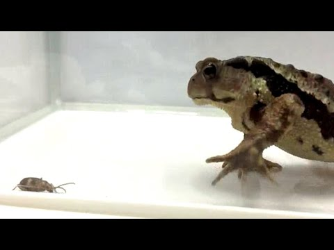 Toad v beetle: watch toad's reaction to toxic explosion in its stomach