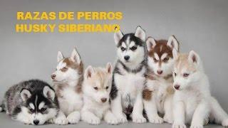 Razas de perros, Husky Siberiano, Siberian husky, Chukcha, Shusha, Keshia