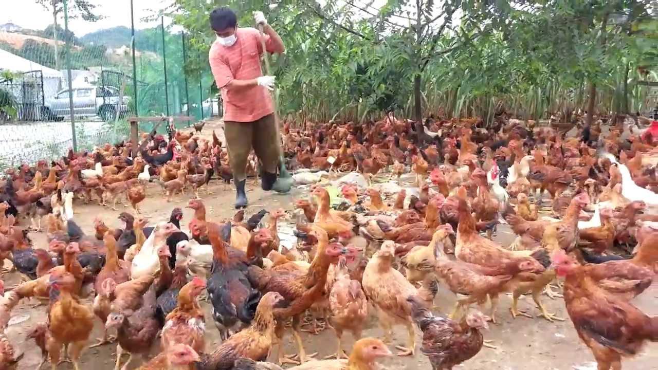 Ayam Kampung - Nuralis Agro Sdn. Bhd. (Sihat dan Berkhasiat) f22197257f41