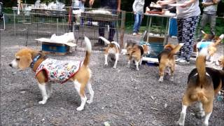 ヒーローオーパス犬舎さん主催による ビーグルオーナーのバーベキュー大...