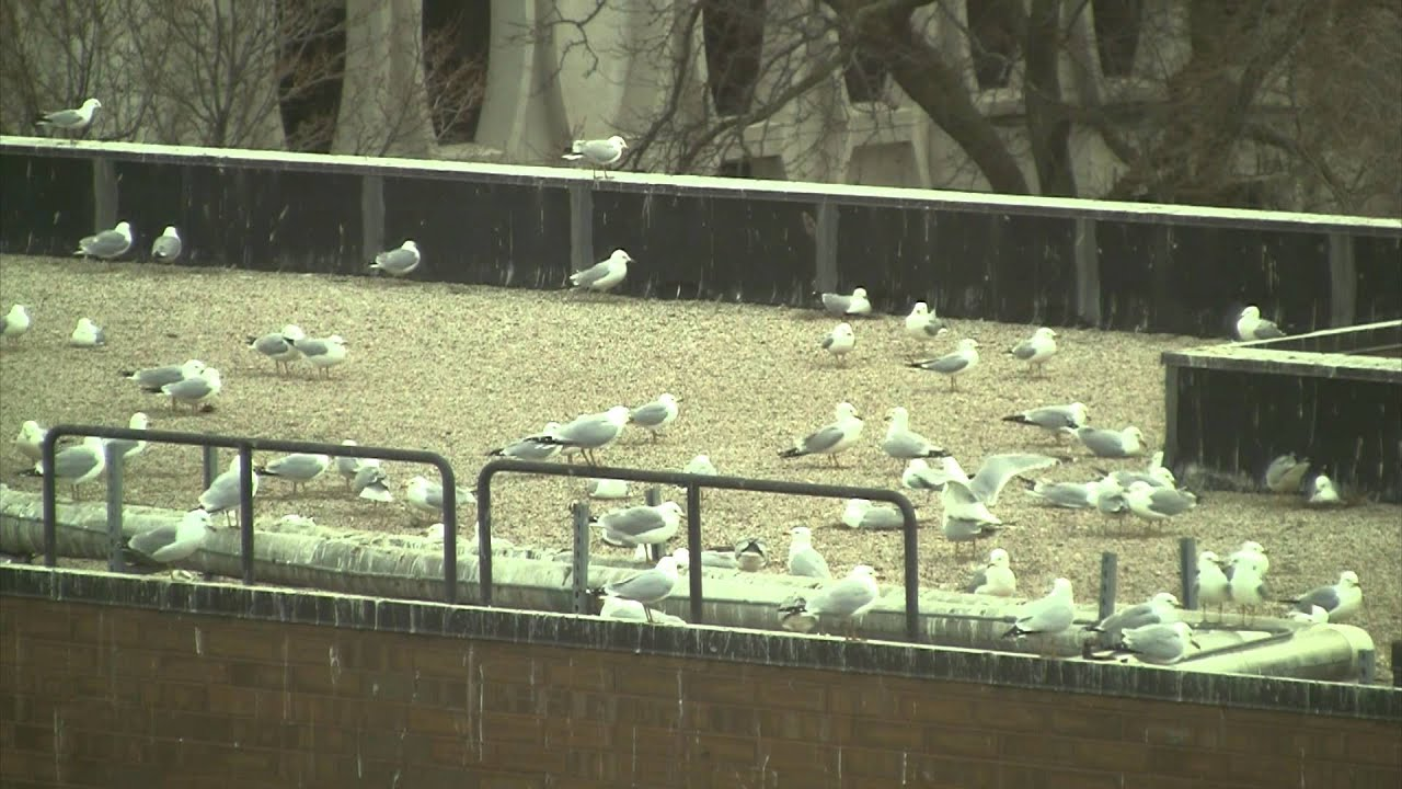 Seagull Problem on Campus