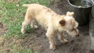 Cute Chutney (jack Russell X Silky Terrier) - Last Day Spotswood Quarantine Australia.