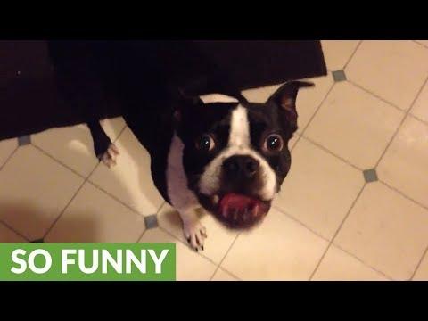 Boston Terrier speaks loudly when he wants his ball