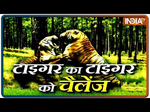 When two tigers clashed in Rajasthan's Ranthambore Tiger Reserve