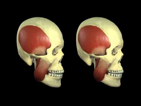 chewing simulation (muscle movement) - YouTube