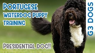 Portugese Water Dog Training