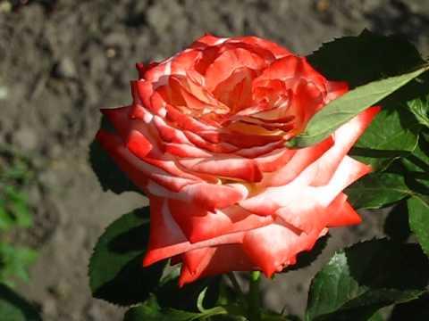 Цветы. Розы. Императрица Фарах.из YouTube · Длительность: 15 с  · Просмотров: 669 · отправлено: 19.06.2014 · кем отправлено: Сергей Половко
