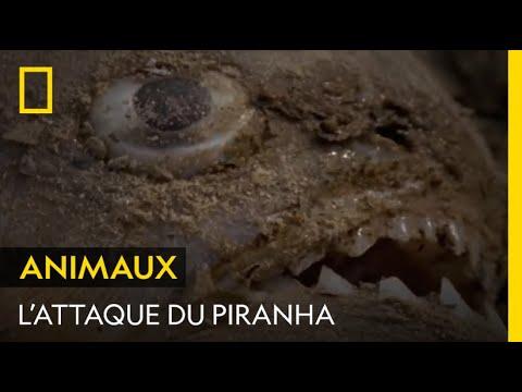 Des piranhas dévorent une proie