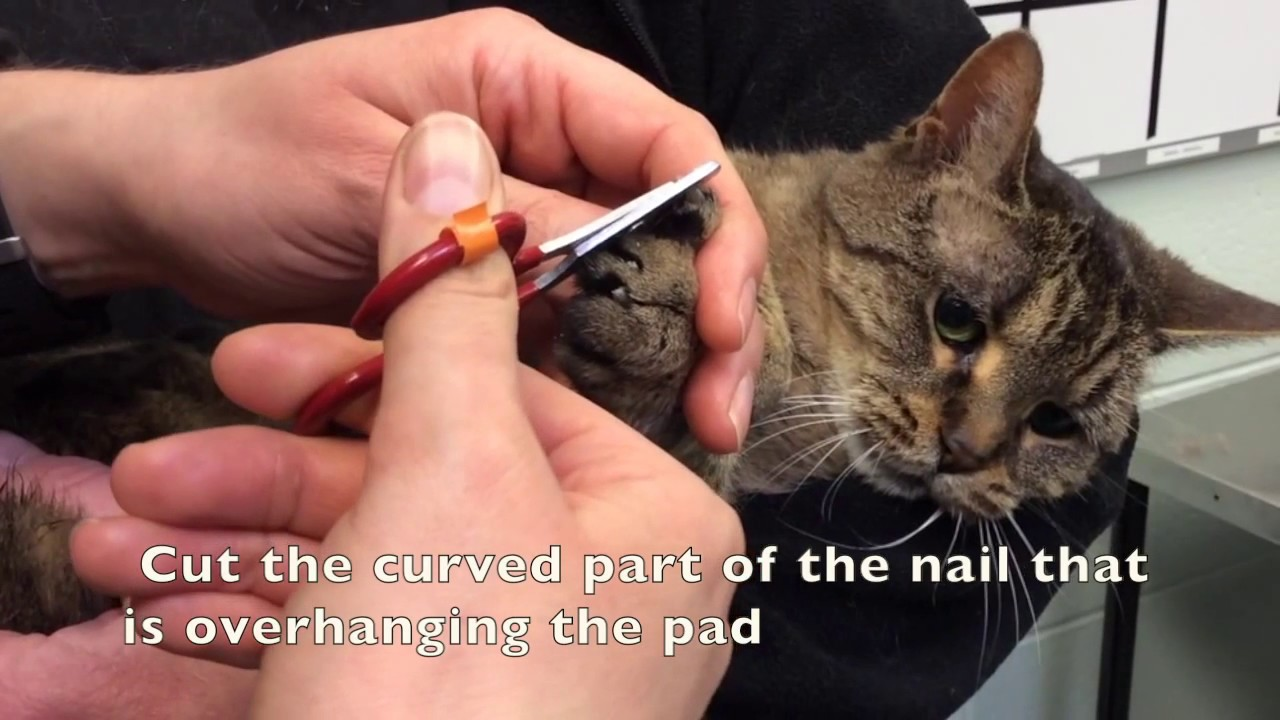 How to cut a cat s nails pedicure Vet in Etobicoke