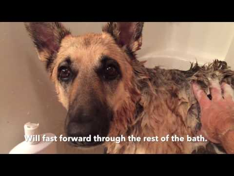 Leela the german shepherd dog (Bath Time 2)