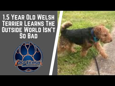 Knoxville Dog Trainers - 1.5 Year Old Welsh Terrier Learns The Outside World Isn't So Bad