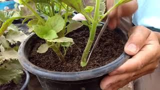 علاج تربة الاصص أثناء نمو النباتات ...  Treating the soil during plant growth