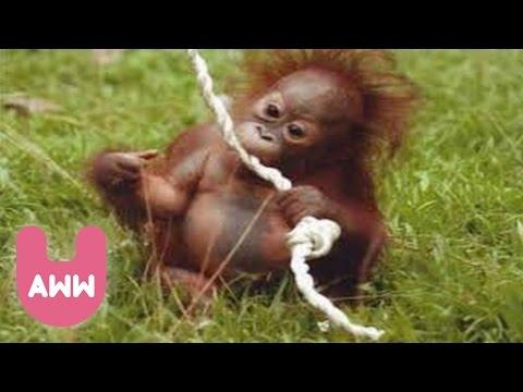 Newborn Baby Orangutan in Indonesia