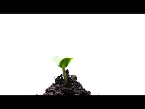 Video footage growth of young green plants time lapse isolat
