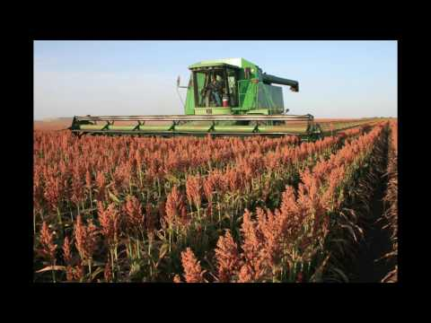 Sorghum in the Field: From Planting to Harvest