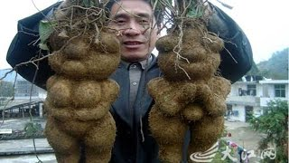 इस पौधे की जड़ो से निकलते है औरत और मर्द के पुतले, कोई जान न पाया इसका राज ll Strange World Hindi ll