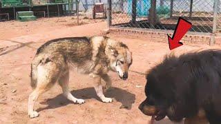 Can a Tibetan Mastiff take down a wolf!!!