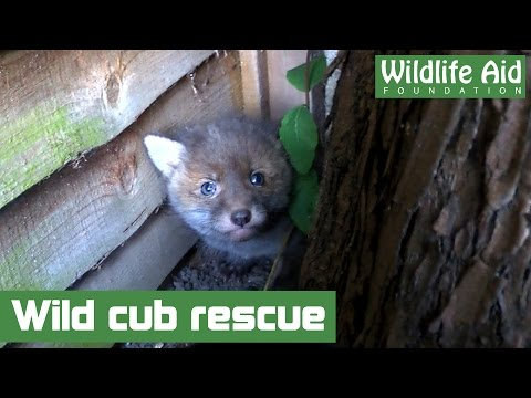 Lost fox cub brought back home