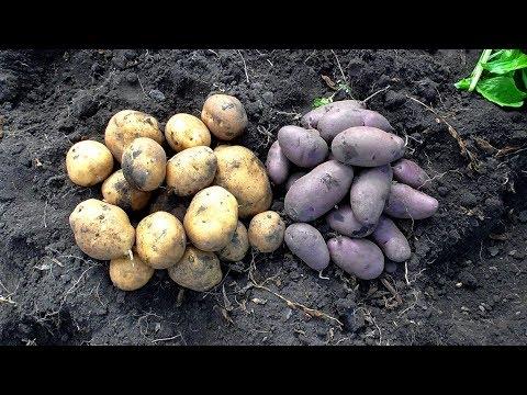 Вопрос: Можно ли сажать картофель, если иногда попадается внутри черный?