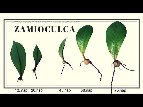 Propagating Zz Plant Zamioculcas Zamiifolia Leaf Cu