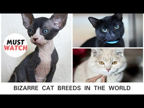 Top 10 Most Bizarre Cat Breeds in The World   Top Unique List