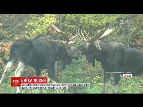 Лісник з Канади зафільмував бій двох дорослих лосів