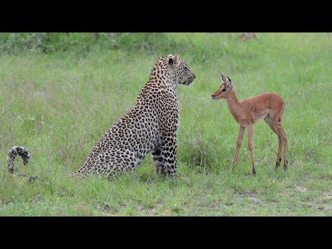 Incredible footage of leopard behaviour during impala kill - www.natural-variation.com