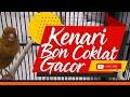 Kenari Bon Coklat Gacor  Mp3 - Mp4 Download