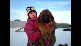Щенки тибетского мастифа 100% Китай. http://beliy-lekar.ru/
