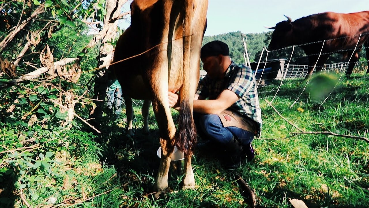 milking-on-pasture-big-game-changer-if-it-actually-works