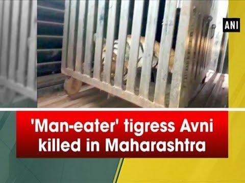 'Man-eater' tigress Avni killed in Maharashtra - #Maharashtra News