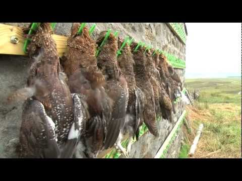 Grouseshooting + great grouse recipe