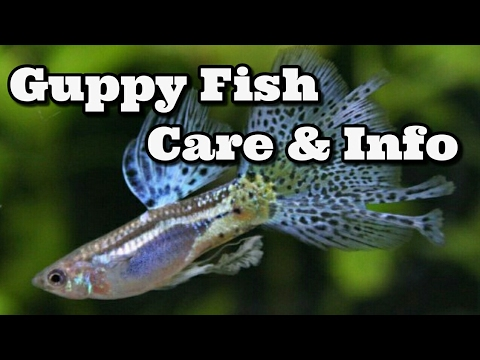 Guppy Fish Care | Guppy Fish Care Information Youtube