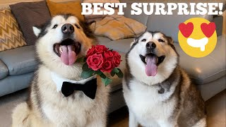 CELEB SURPRISE FOR MY HUSKY ON VALENTINES DAY! [CUTEST VIDEO EVER!]