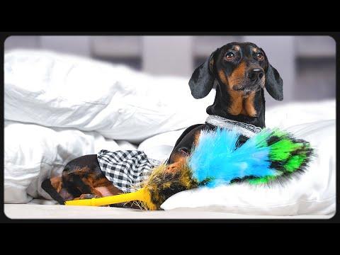 Christmas Tips! Cute & Funny Dachshund Dog Video!