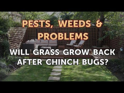 Will Grass Grow Back After Chinch Bugs?