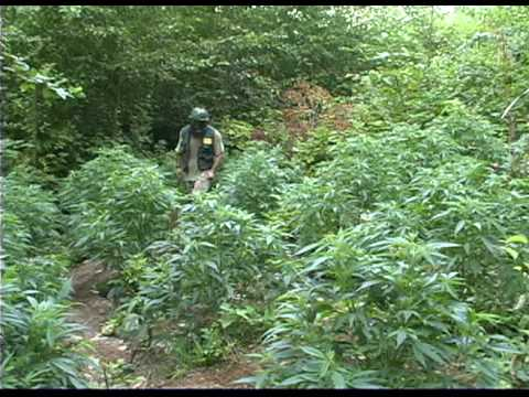 ProhibitionEp3--watching Your Outdoor Marijuana Investment Grow Into Big Buds Is Heavenly