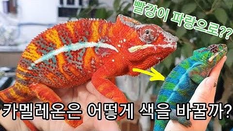 카멜레온 색변화-chameleon changing color, how to change chameleon color