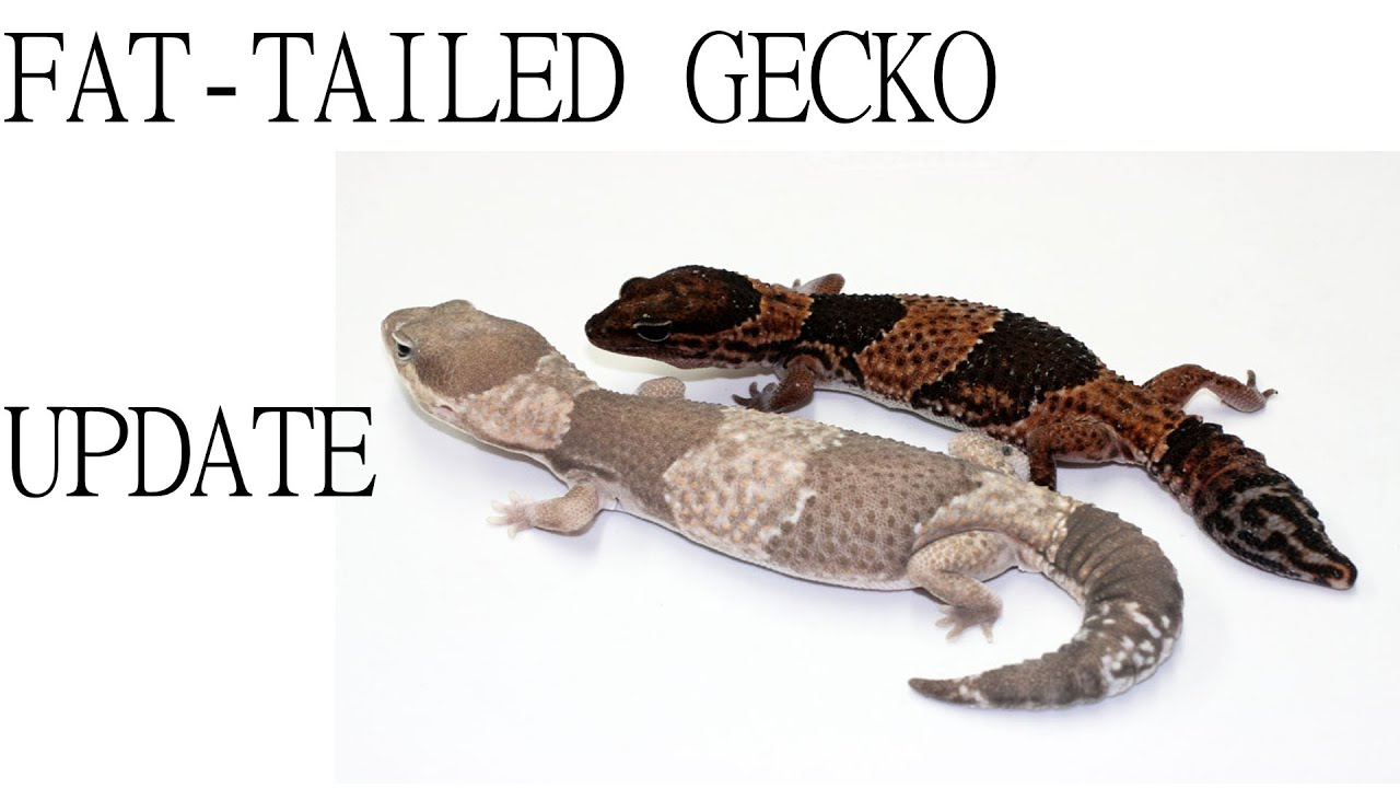 Africa Fat Tailed Gecko Update Aft Gecko Guy Youtube