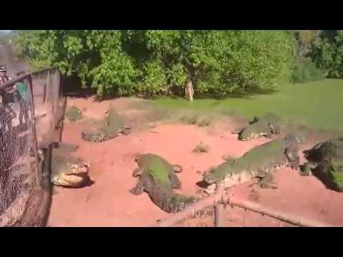 cocodrilo le come la pata a otro cocodrillo