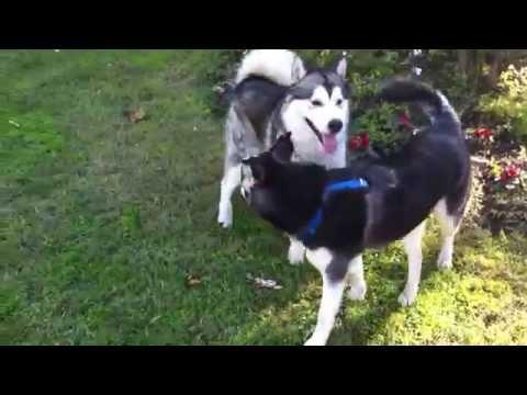 My Siberian Husky VS Alaskan Malamute